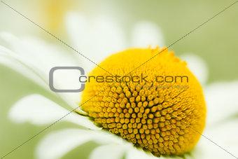 Camomiles Closeup Background
