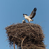 Baby birds of a white stork in a nest