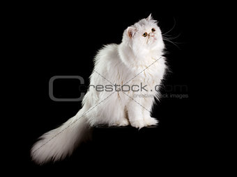 Adult house Persian cat of a white color