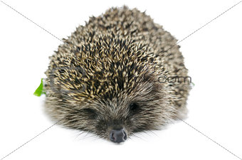 Front view of hedgehog