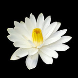 White lotus flower on white background