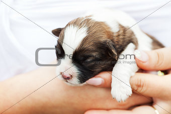 Small puppy dog in woman hand