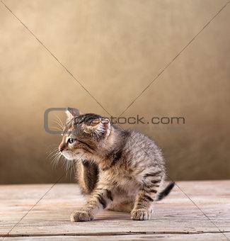 Small kitten sitting on wooden floor
