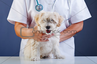 Small dog being examined at the veterinary doctor