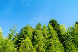 pine forest under deep blue sky in mountain Carpathians