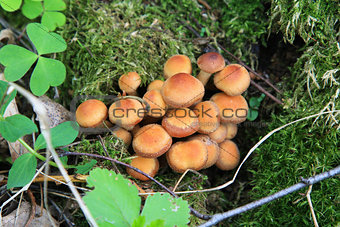 Kuehneromyces mutabilis, mushrooms