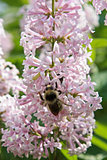 Bumblebee on lilac flowers