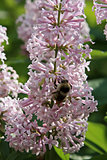 Bumblebee on lilac flowers framed by green leaves