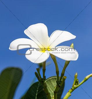 Frangipani flower or  Lan thom flower