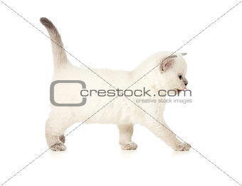 British kitten side view isolated on white