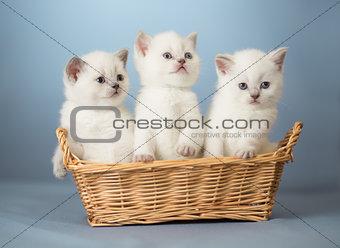 three white British kittens in basket