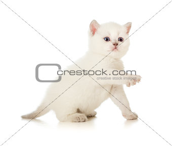 British baby cat with lifted paw