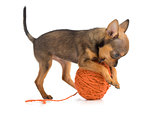 toy terrier playing wool ball