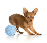 Russian toy terrier puppy playing wool ball