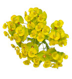 yellow spurge