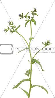 Anchusa arvensis