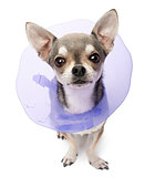 Chihuahua, 4 years old, wearing a space collar in front of white background