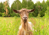 Brown Goat in green village field Farm Animal