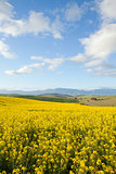 Yellow fields of canola flowers with mountain range in backgroun