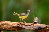 yellow-bellied prina