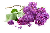 Branch with lilac flowers