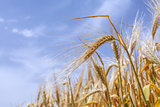 ears of ripe wheat on a background of the sky