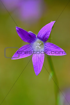 Campanula - bluebell flower
