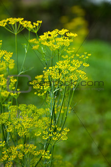 Blooming fennel flower
