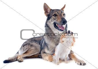 Czechoslovakian Wolfdog and chihuahua