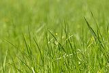 wild fresh grass on the field