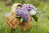 lilac flowers in birchbark basket on grass