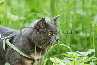 portrait of young british cat walking in grass