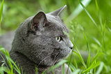portrait of young british cat siting in grass