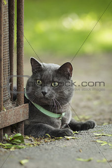 portrait of young british cat siting on walkway