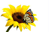Nature summer sunflower with butterfly. Vector illustration.