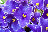 Beautiful Purple Violet Flowers