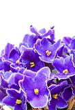 Beautiful Purple Violet Flowers