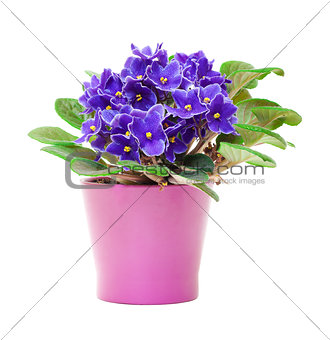 Beautiful Purple Violet Flowers in flowerpot