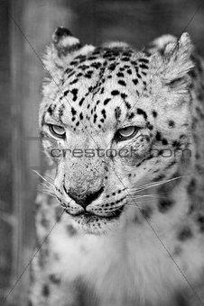 Beautiful portrait of Snow Leopard Panthera Uncia big cat in bla