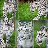 Compilation of five images of Snow Leopard Panthera Uncia big ca