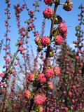 Japanese apricot blossom buds