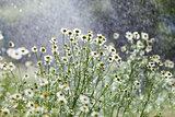 rain and flowers