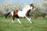 Beautiful paint horse running in front of flowering trees