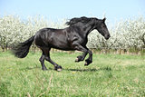 Gorgeous friesian mare running in front of flowering trees