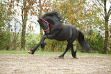 Black friesian stallion running