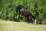 black kladruber horse jumping in past blossom dandelions
