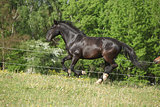 black kladruber horse running in past blossom dandelions