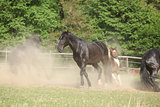 Black kladruber horse running in the dust