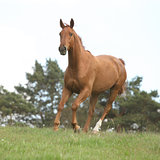 Nice chestnut horse running in freedom