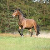 Brown horse running and making some dust in front of the forest